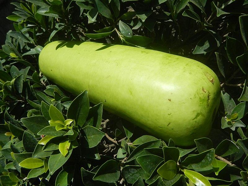 Upo (White Gourd)